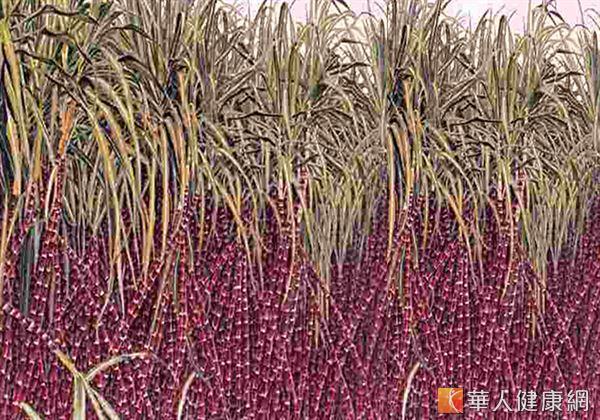 生長在古巴熱帶雨林的「紅竹甘蔗」的外皮含有八種高分子量植化醇。