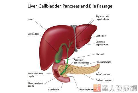 多數人常誤認為脂肪肝只會出現在胖子身上,卻忽略除了肥胖會造成脂肪堆積外,飲酒過量、慢性病等因素,都會導致肝臟代謝出問題,囤積大量脂肪,形成脂肪肝。