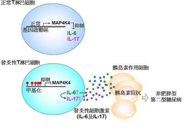 若體內MAP4K4激酶不足,會造成發炎性淋巴細胞過度增加和活動,誘發第二型糖尿病。(圖片提供/國衛院)
