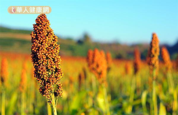 高粱酒採用的是優質甜高粱為主要的釀造原料,可以活血、促進末梢血液循環。